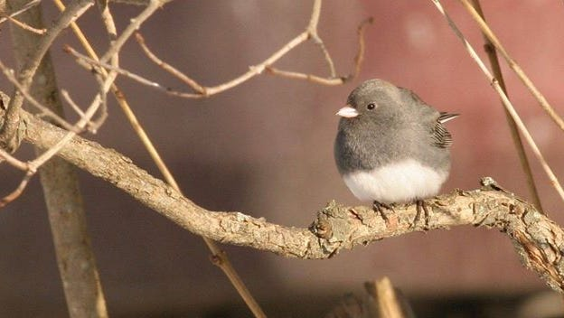 This dark-eyed junco photo is one of several by Chemung Audubon Society members that will be on display at the society's December meeting.
