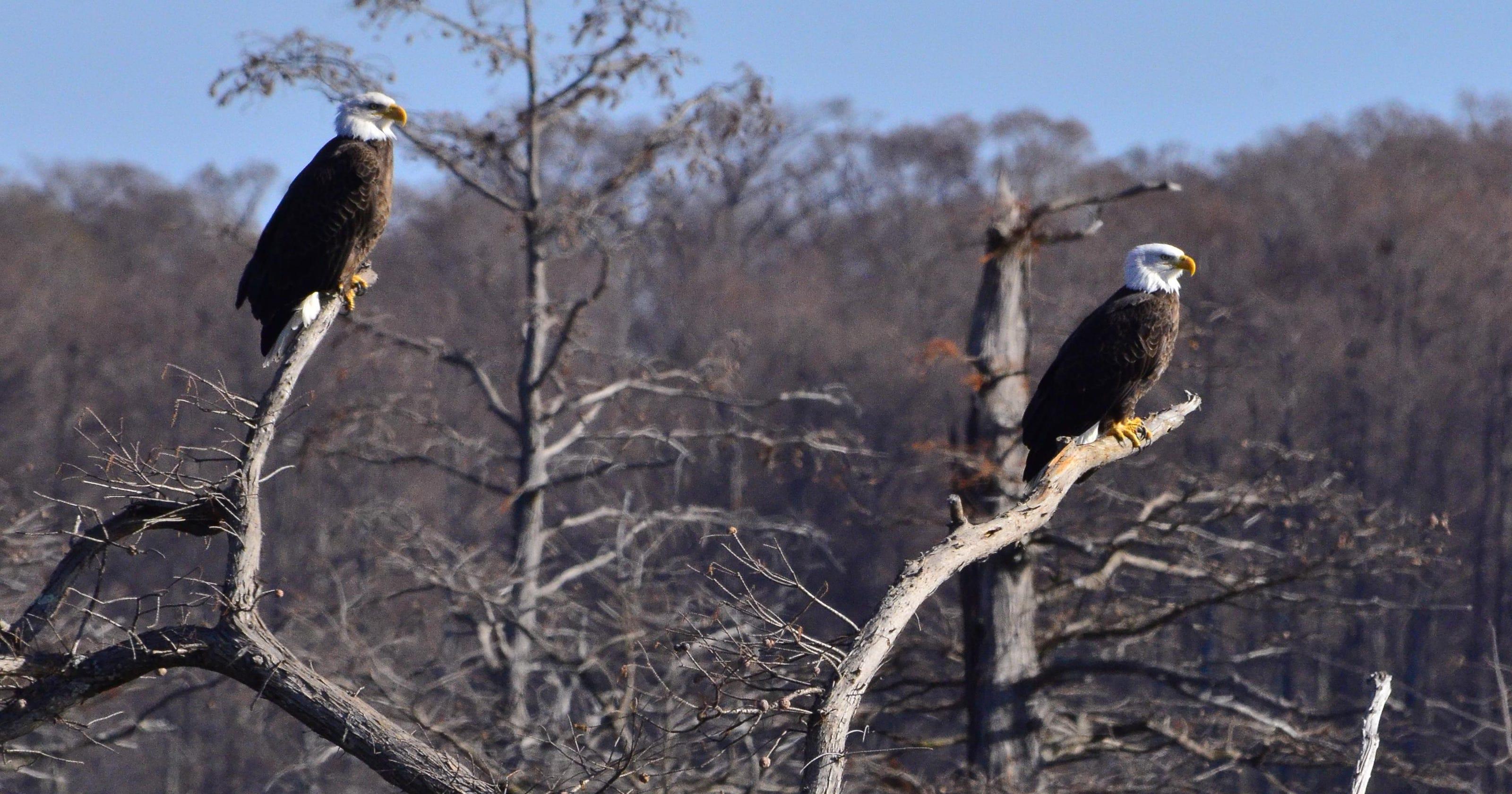 Eagle watching at Reelfoot Lake