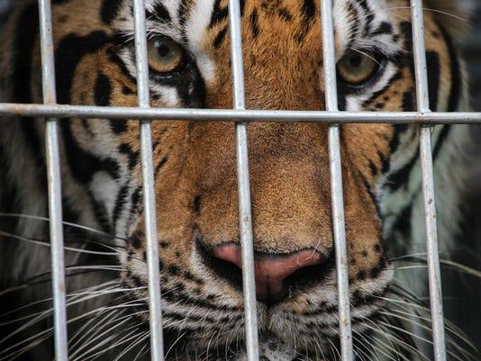 thailand_tigers