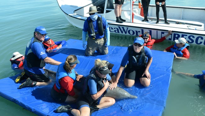 The SeaWorld San Antonio Rescue Team joined forces with the SeaWorld Orlando Rescue Team, the National Oceanic and Atmospheric Administration (NOAA) and members of the Texas Marine Mammal Stranding Network to help rescue a bottlenose dolphin that was found entangled in fishing gear off the coast of South Padre Island in August 2016.