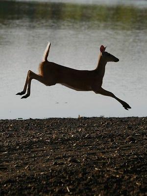 A deer runs near a field.