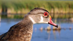 A male wood duck, identifiable by its red eye, is held