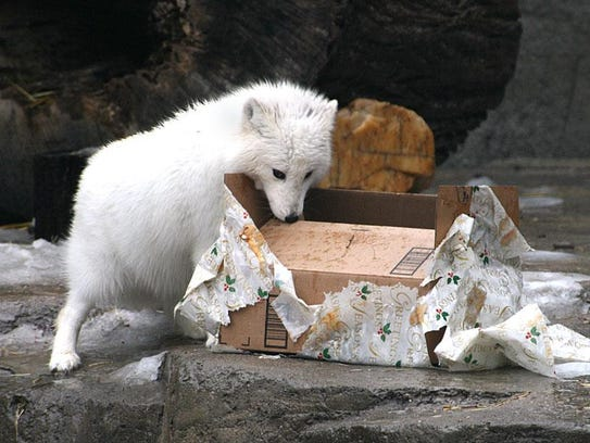 The arctic fox at Wildwood Zoo opens a present in 2012.