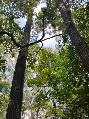 Naylor Mill Forest is an example in Wicomico County of a mature forest with great diversity of species.