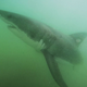 Great white shark eats dead whale off Southern California