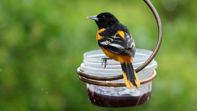 Orioles may not be the only one enjoying jelly at feeders this time of year. They may also be joined by catbirds.