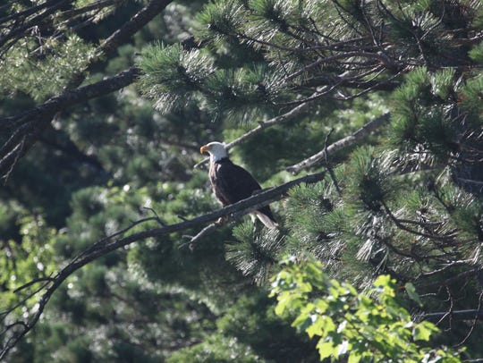 A bald eagle perches in a tree above a lake in Oneida