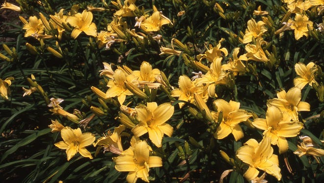 ​A large bed of daylilies provides impressive color during July and August.