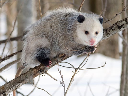 possum drop 2.jpg
