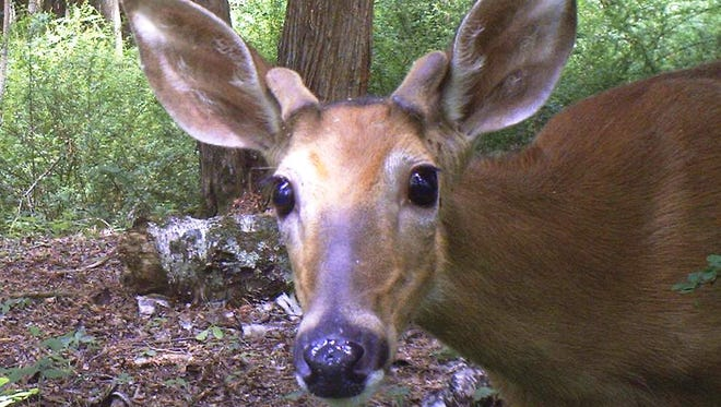 Deer are herbivores, consuming grass, tree leaves, berries and flowering plants in the spring and summer, acorns, grass and herbs in the fall and twigs, nuts, fruits and corn in the winter.