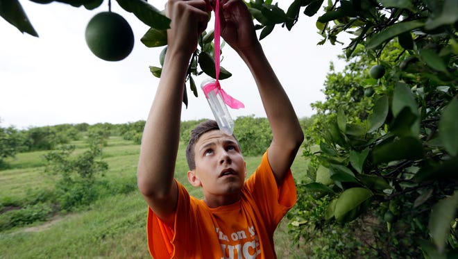 In this Friday, July 25, 2014 photo, Nick Howell, 13, a member of the McLean family who owns Uncle Matt's organic orange juice company, places a vial containing the tamarixia wasp to release in their orange groves in hopes of combating the citrus greening disease, in Clermont, Fla. Florida's $9 billion citrus industry is facing its biggest threat yet by a tiny invasive bug called the Asian Citrus Psyllid, which carries bacteria that are left behind when the psyllid feeds on a citrus tree's leaves.