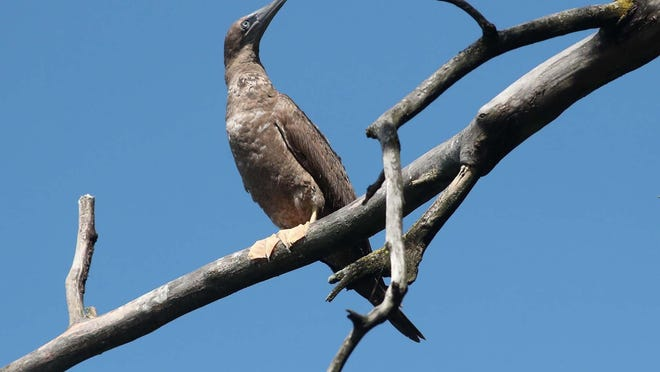 A brown booby seabird is perched on a dead tree along the shore of Nimisila Reservoir in Nimisila Reservoir Metro Park on Monday, Aug. 31, 2020 in Green, Ohio. It's extremely rare for the bird to be found this far north.