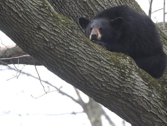 A male black bear is shown on an oak tree branch, approximately
