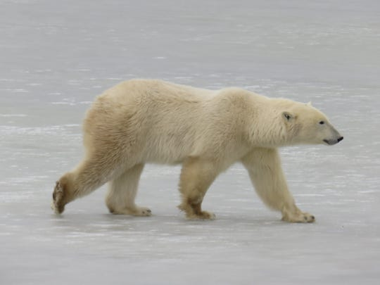 Talking about polar bears to illustrate climate change is not as effective in Louisiana and talking about fish, a Lousiana State University researcher said.