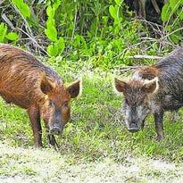 Hog hunters use drone technology