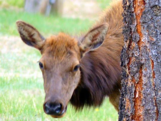 Hiding behind a tree, one cow elk views an intruder.
