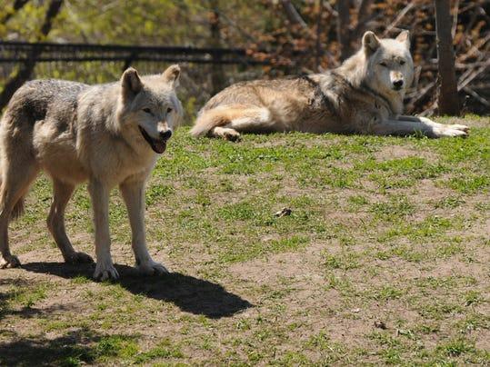 OSH Zoo Wolves 043015 JS 01 Main Image.jpg