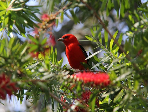 Charles Roose' spring photo of a scarlet tanager songbird.