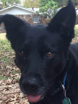 Bell is a 4 year old spayed Black Labrador/Collie mix female. Bell loves everybody and would be very thankful for a new home. She has been with her owners since she was a puppy. Sadly they must give her up due to financial issues. Bell knows a lot of tricks. To adopt Bell, call (870) 425-4825 or (347) 244-2477 or visit www.dogsncats.petfinder.org to see other Louis Animal Foundation animals available for adoption.
