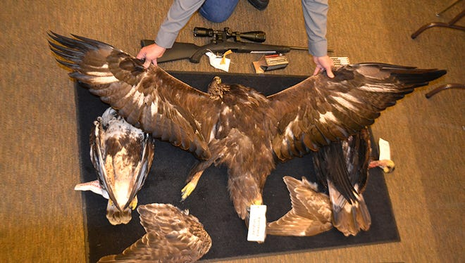 The Nevada Department of Wildlife provided this photo of  raptor bodies and body parts a Canadian man plead guilty to possessing illegally