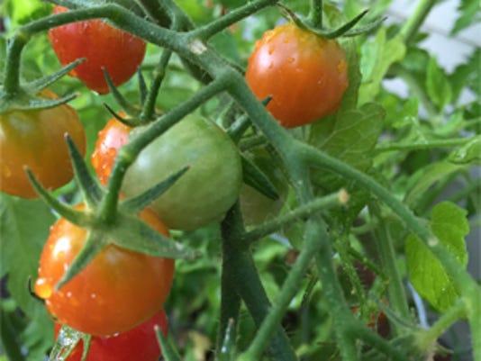 635725746069615635-tomato