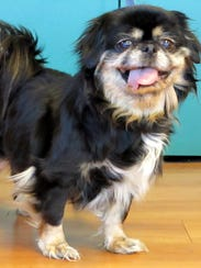Sassy is a 12 year old Miki who arrived at HAWS after