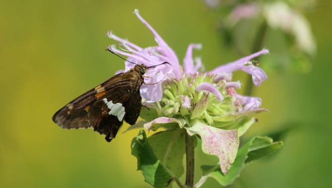 The pollinator habit is a valuable CRP option, as this butterfly will attest to.