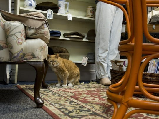 Tiger, a 25-year-old cat, sits among the merchandise in the Antique Mall in Fort Myers on June 1, 2016. Sandi Smith, the owner of the store, took in Tiger from a rescue so she could live the rest of her life in the shop.