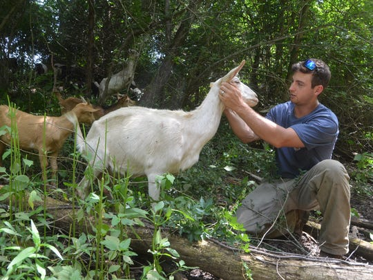 Goats owned by The Goat Guys chomp on overgrown vegetation to help homeowner Bob Davidson be able to clear out and clean up a historic cemetery on his property.