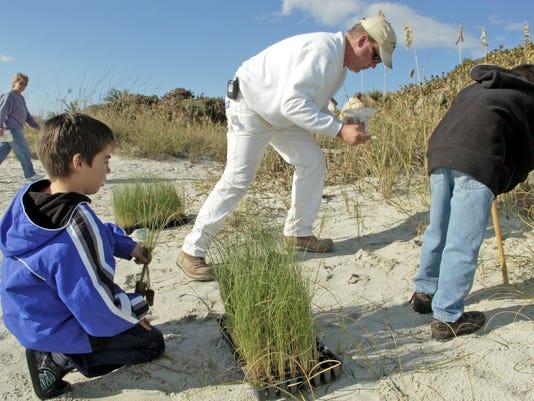 Sea Oats Planted on Beach