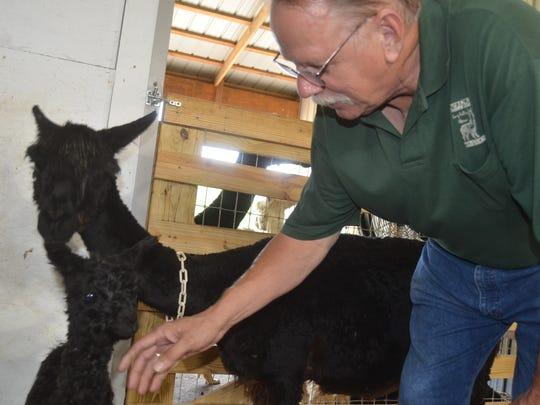 Long Hollow Suri Alpacas owner Karl Heinrich pets a