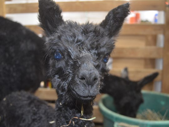 This one-day-old alpaca was bred to make the best quality
