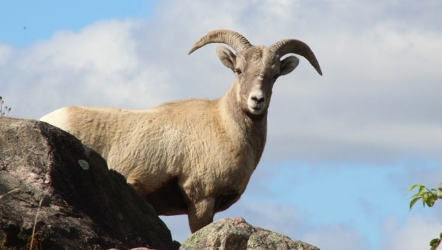 A male bighorn sheep named Rocky has died.