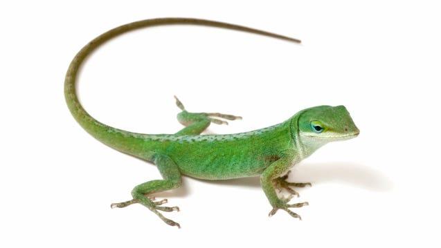 Green anole lizard.