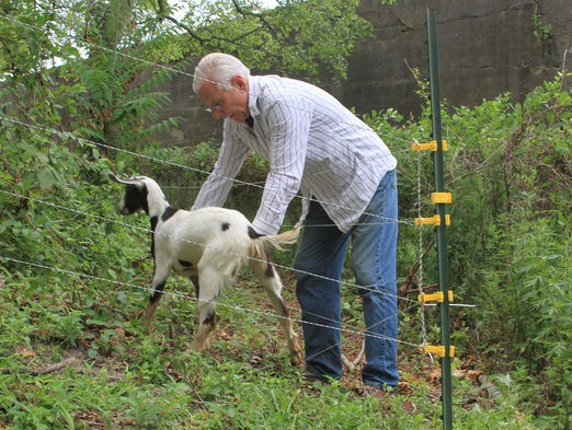 Larry Cihanek, of Rhinebeck, N.Y., places one of his young goats into an area surrounding one of the mortar batteries at Sandy Hook where the Nubian goats will help eradicate the infestation of poison ivy surrounding the area, Tuesday, July 23, 2013.