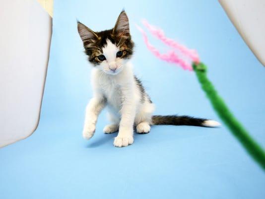 Kitten at Arizona Humane Society