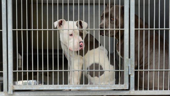 Pitbulls peer from their cage at the San Bernardino City Animal Shelter in San Bernardino, California, on Feb. 4.