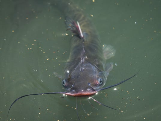 Arizona water stocked with 20 000 trout catfish for Az game and fish license