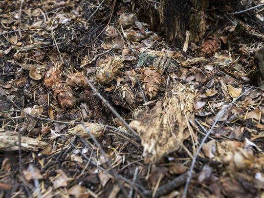 Mount Graham red squirrels often feed on Douglas fir