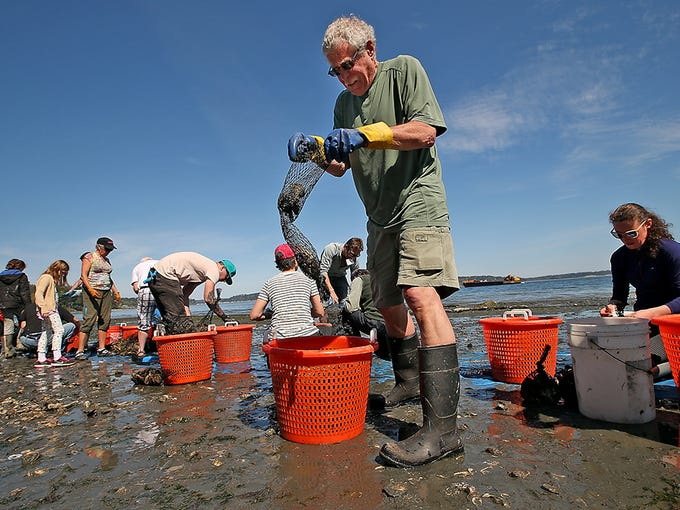 Dean Dale, of Poulsbo, counts and bags oysters while helping out with the harvest at the Port Madison Community Shellfish Farm (PMCSF) on Bainbridge Island on Friday, April 8, 2016.