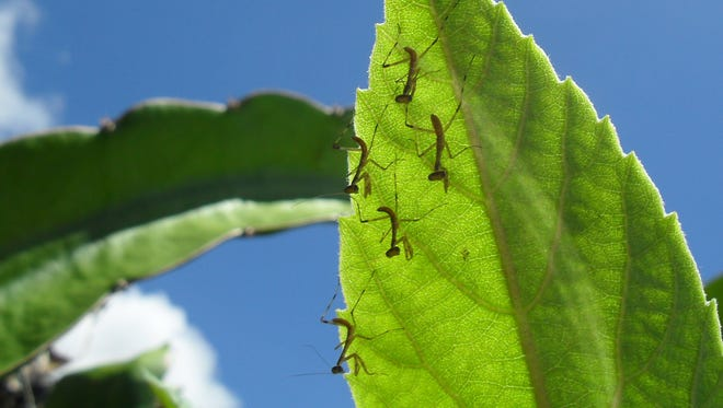 Multiple mantises on a leaf in Michael Chang's backyard.