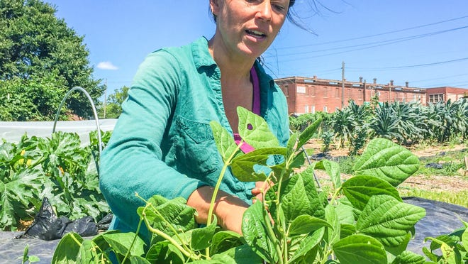 Amy Matthews picks string beans at South Circle Farm, 2 miles from Downtown Indianpolis.