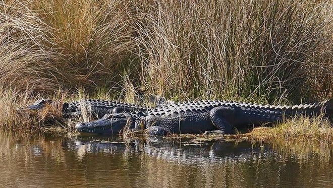 Alligators at St. Marks Wildlife Refuge