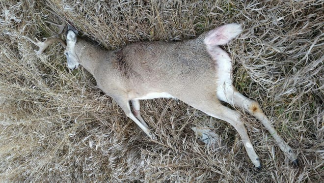This white-tailed deer buck was found on the corner of Fish Hatchery Road and Castle Creek Road south of Lewistown.