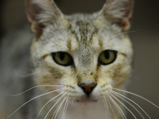 Candy - Female domestic short hair, adult. Intake date:6/9/2017