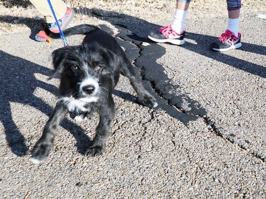 Inga, a 14-week-old rescue puppy, takes her humans