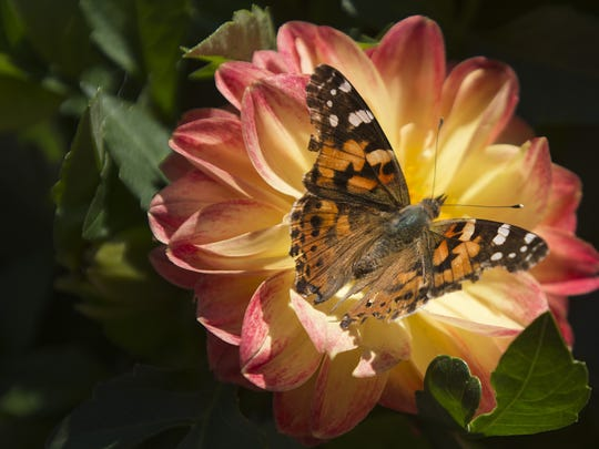 A painted lady butterfly sips nectar from a flower pot in Colorado in 2017.
