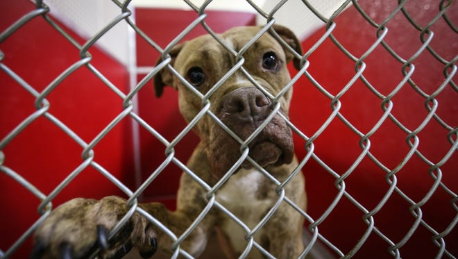 Julep, a terrier and pit bull mix, waits to be adopted at the Brandywine Valley SPCA in New Castle last month. The shelter has contacted First State Animal Center and SPCA and Delaware SPCA for help housing strays, but has been turned away.