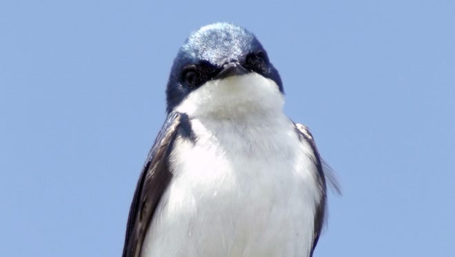 Tree swallows are among the earliest songbirds to return in April.