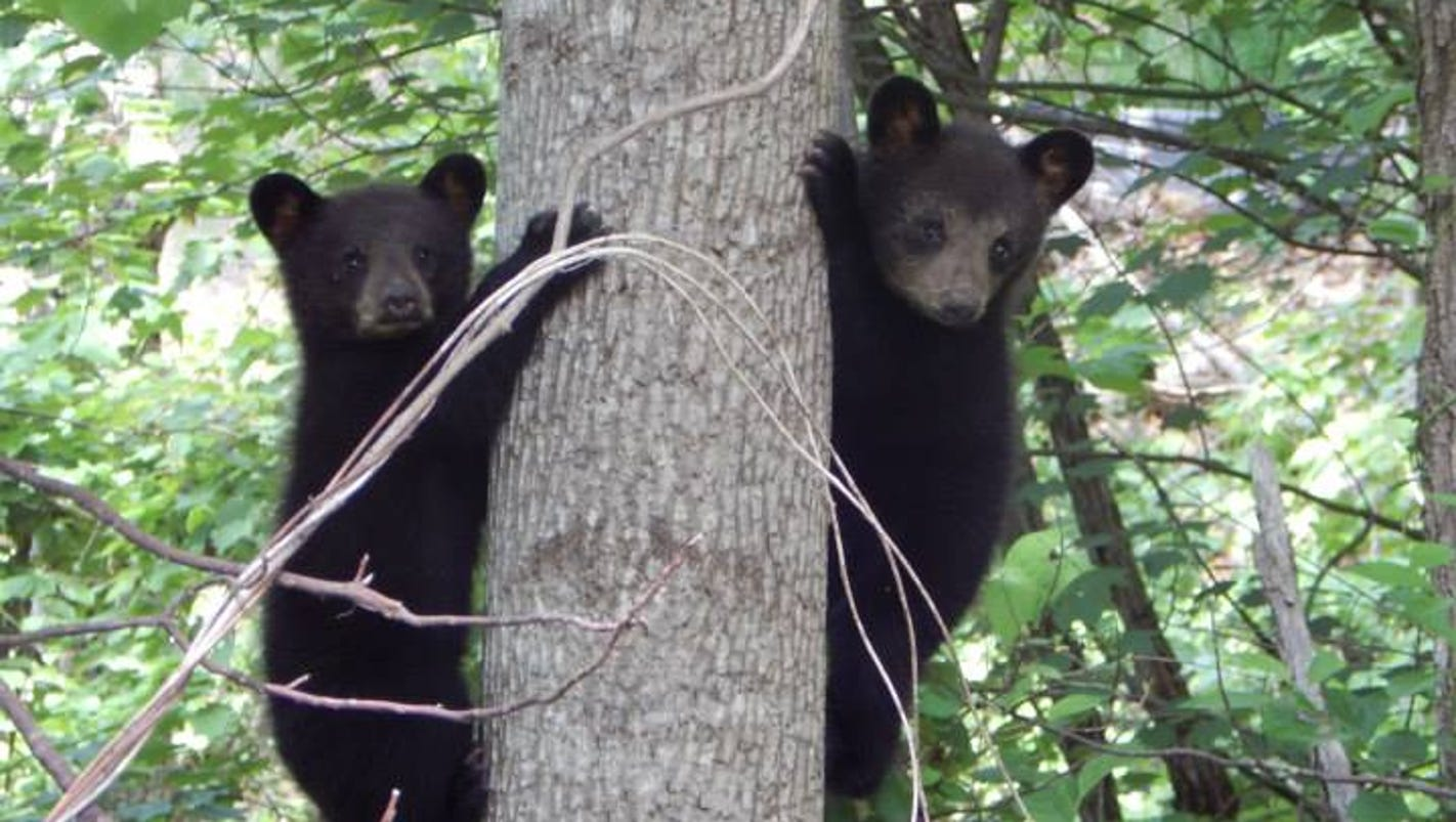 bears on the move early in wnc